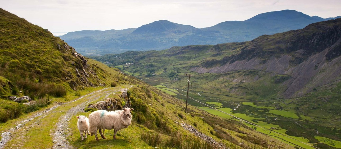 Sheep on the mountain side in Wales